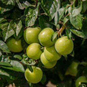 نهال آلوچه گوجه سبز