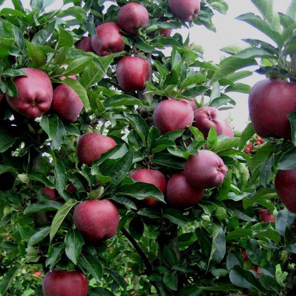 نهال سیب ردچیف