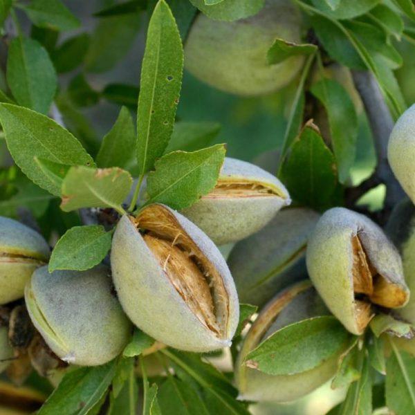 نهال بادام شکوفه(A.H.3)